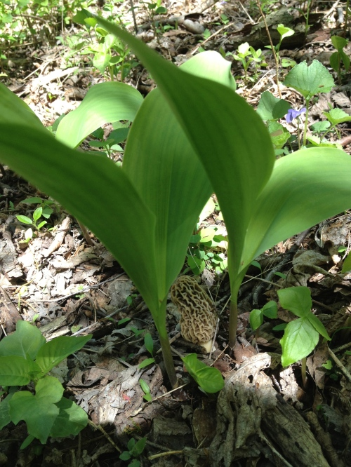 Lilies of the valley.  And a morel.